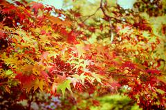 Autumn maple leaves in garden with retro filter effect Stock Photos