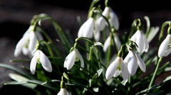 The white snowdrop flowers Stock Footage