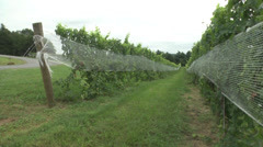 Vineyard at harvest PAN trellised rows Stock Footage