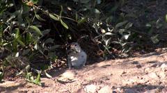 Round-tailed ground squirrel (Xerospermophilus tereticaudus). Stock Footage