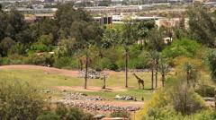 Masai Giraffes at Phoenix Zoo. Arizona, USA. Stock Footage