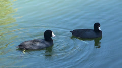 Couple of  American Coot (Fulica Americana). Stock Footage