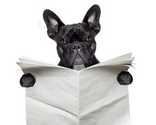 newspaper bulldog - stock photo