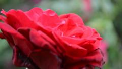 A Red Rose Swaying in the Wind Stock Footage