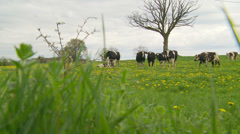 Cows in paradise Stock Footage