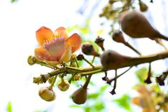 cannonball flower - stock photo