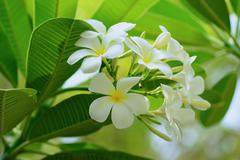 plumeria - stock photo