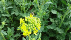 Fleet bee collects pollen from yellow rape flower Stock Footage