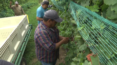 Vineyard crew cutting trellised grapes from the vines Stock Footage