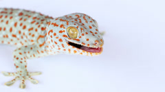 Geckos on white background Stock Footage