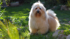 Cute happy young havanese dog is standing in a garden and wags its tail Stock Footage