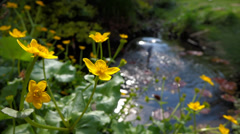 Some marsh marigold ( caltha palustris ) flowers next to a small pond Stock Footage