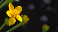 Marsh marigold ( caltha palustris ) flowers next to a small pond Stock Footage