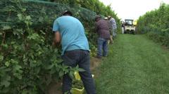 Vineyard crew harvesting between rows of grapes Stock Footage