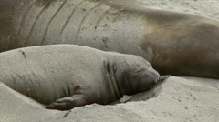 Young Elephant Seal Flipping Sand on Its Back Stock Footage