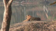 P03526 4K of Tiger at Lake at Kanha National Park in India Stock Footage