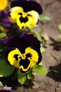Tricolor violas Stock Photos