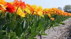 Field of red, yellow and orange tulips, Netherlands Stock Footage
