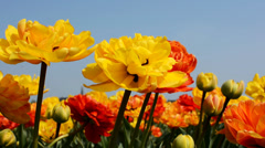 Stock Video Footage of Yellow tulips captured from below, Netherlands