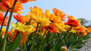 Stock Video Footage of Bright multicoloured tulips captured from below, Netherlands