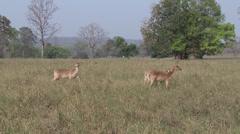 P03529 Barasingha aka Swamp Deer in Tiger Habitat Stock Footage