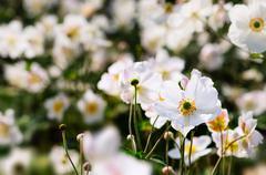 Japanese Anemones - Autumn white flowers Stock Photos