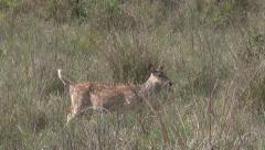 P03533 Alarmed Spotted Deer with Tail Raised Stock Footage