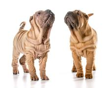 Two chinese shar pei puppies Stock Photos