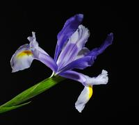 Blue iris on black Stock Photos