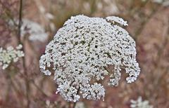 queen anne's lace flower daucus carota - stock photo