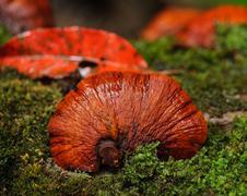 Red Lingzhi mushroom Stock Photos