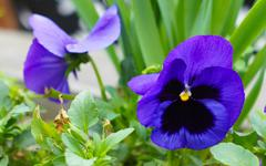 Spring time: first tricolor viola flower - stock photo