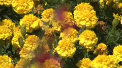 Red flower in front of yellow flowers, focus Stock Footage
