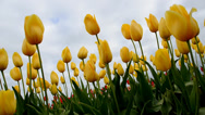 Stock Video Footage of Oregon Wooden Shoe Tulip Festival 2014