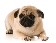 pug laying down - stock photo
