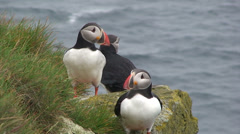 Group of 3 puffins on a cliff, one flaps wings Stock Footage