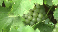Vineyard at harvest CU grapes on vines Stock Footage