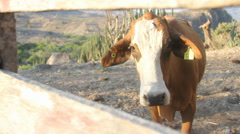 Cow looking at camera Stock Footage