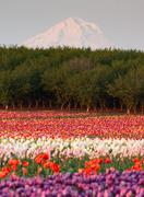 mount hood fruit orchard tulip field flower grower farm - stock photo