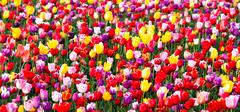 tulips field red yellow purple bulbs flowers tulip farm - stock photo