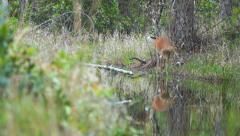 Whitetail Deer Florida Swamp Stock Footage
