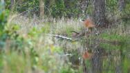 Stock Video Footage of Whitetail Deer Florida Swamp