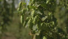Hops plant Stock Footage
