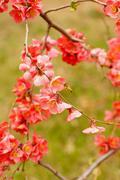 Peach blooming - stock photo