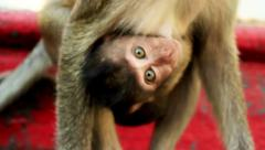 Monkey (Long-Tailed Macaque) with her sweet baby Stock Footage