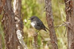 New zealand robin in the wilds Stock Photos