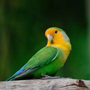 lovebird - stock photo