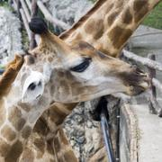 Head of giraffe in Zoo Stock Photos