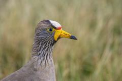 wattled plover close-up in grass. - stock photo