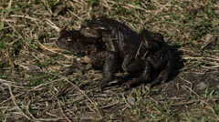 Pair of Common toads (Bufo bufo) crawling Stock Footage